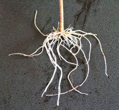clone roots